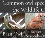 Owls   UNTAMED